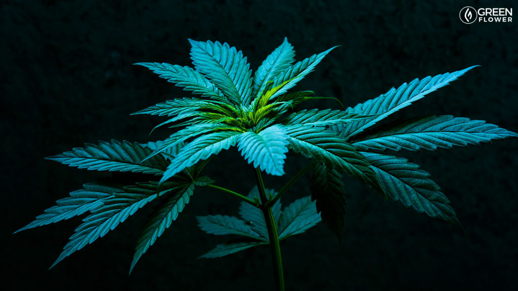 Live cannabis plant indoors